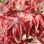 Acer palmatum 'Moonfire'2