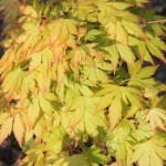 Acer palmatum 'Orange Dream'1