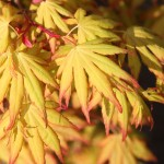 Acer palmatum 'Orange Dream'2