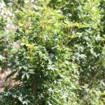 Acer platanoides 'Novush'