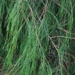 Chamacyparis lawsoniana' Imbricaria Pendula' onbewerkt (2)