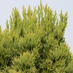 Cryptomeria japonica 'Little Diamond' (3)