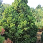 Cryptomeria japonica 'Little Diamond' (4)