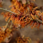 Hamamelis intermedia 'Spanish Spider' (2)