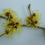 Hamamelis intermedis 'Limelight'2