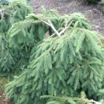 Picea abies 'Formanek' (2)