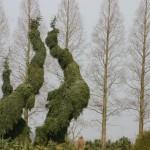 Picea omorika 'Pendula 3