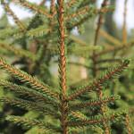 Picea orientalis 'Aurea' (2)