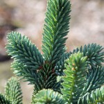 Picea pungens 'BAR'
