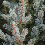 Picea pungens 'Edith' (4)