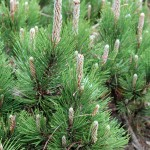 Pinus leucodermis 'Dolce Dorme' (2)