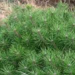 Pinus leucodermis 'Jane Kluis' (2)