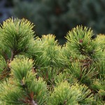 Pinus mugo 'Little Gold Star' (2)