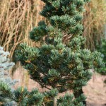 Pinus parviflora 'Gyokasu' (1)