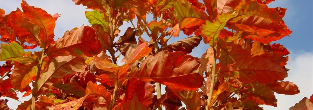 Quercus dentata 'Sir Harold Hillier'