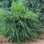 Taxus baccata 'Dovastoniana' onbewerkt (1)