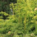 Taxus baccata 'Dovastonii Aurea' onbewerkt (2)
