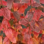 Parrotia Persian Spire - Fall (1)