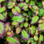 Parrotia Persian Spire - Summer (4)