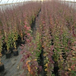 Parrotia persica Persian Spire production